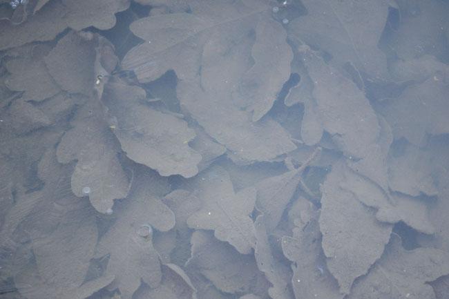 Frozen leaves...