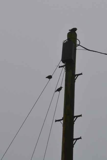 Three birds on a wire...