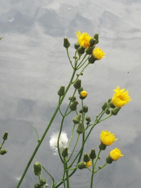 Dandelions against the water
