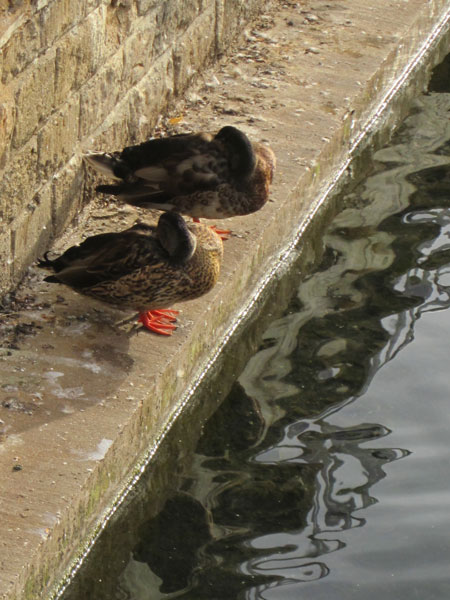 Two cute ducks having a morning nap...