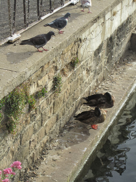The two napping ducks eyed by two pidgeons
