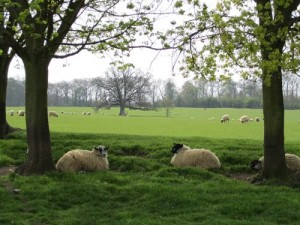 Burghley Park with sheep