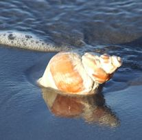A picture I found on the web of a whelk
